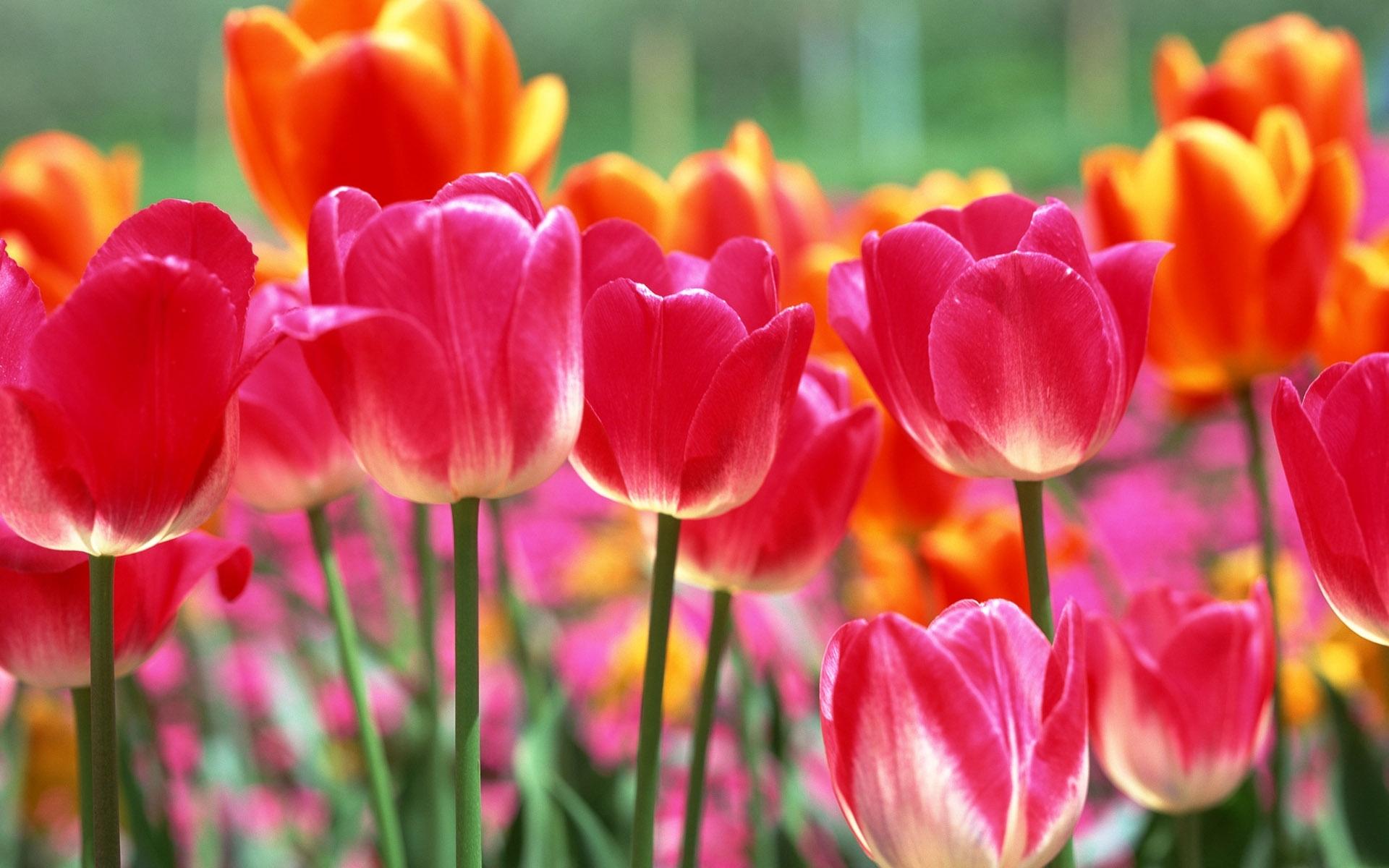 Valokuvassa kukkivia tulppaaneja