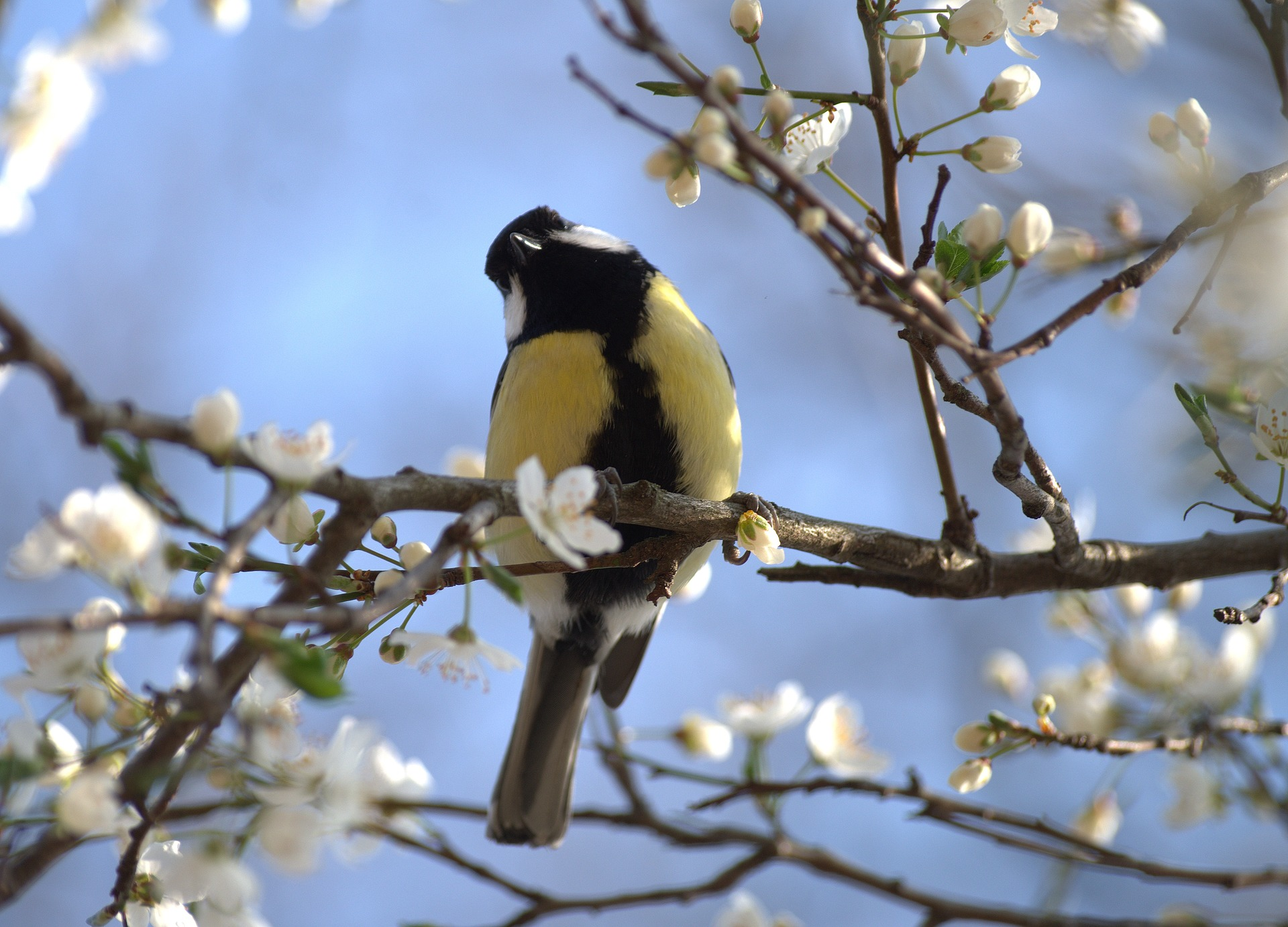 Talitiainen keväisessä omenapuussa.