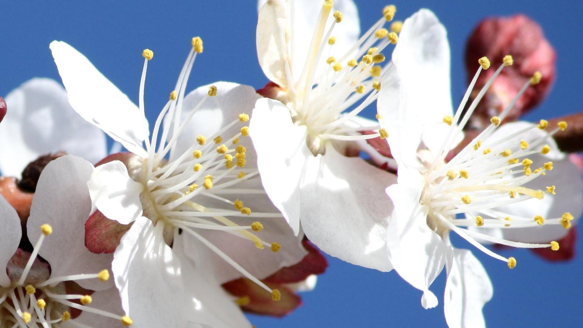 Lähikuva kukkivasta puusta